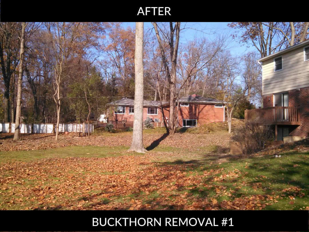 Buckthorn removal AFTER #1