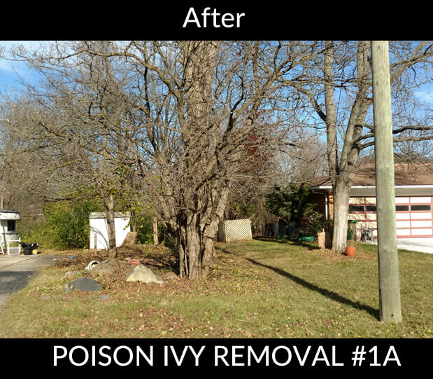 Poison Ivy Removal - After #1A