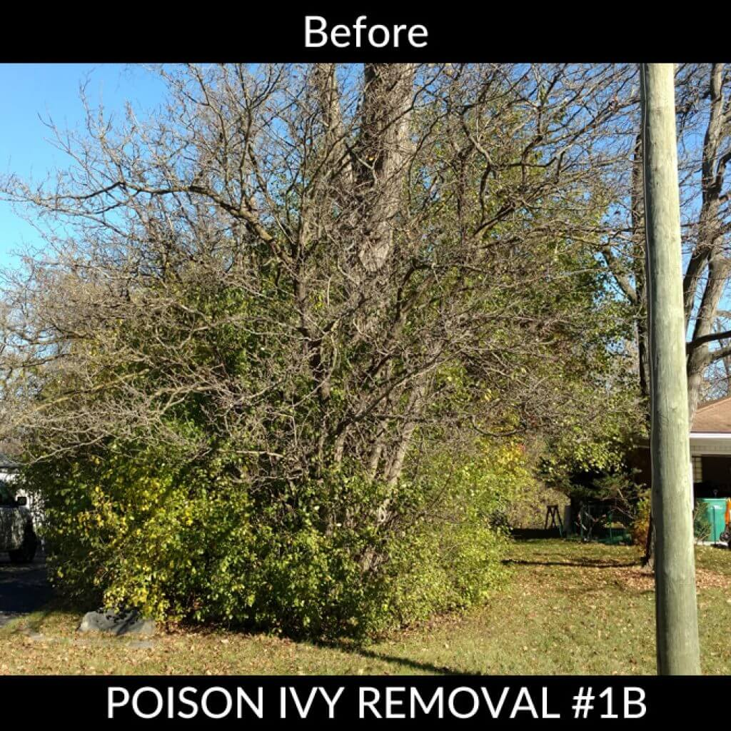 Poison Ivy Removal - Before #1B