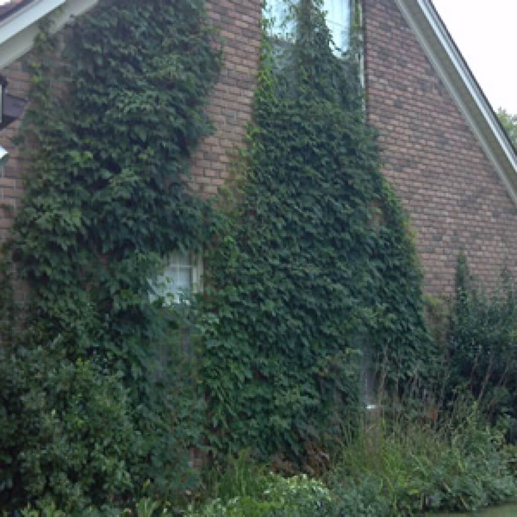 Poison Ivy making this house its home.
